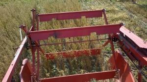 Havrens tur att tröskas, inte heller här finns mycket ogräs i försöksrutorna.