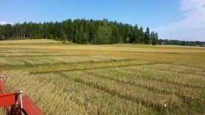 Kornet till höger är precis som ifjol kort. Näringen från gröngödslingsvallen frigörs inte i tillräcklig mängd då när kornet behöver mycket näring och ska skjuta strå. Ska man odla korn borde man ha tillgång till stallgödsel eller gödsla med tex viljo-gödsel som är tillåtet vid ekologisk odling.