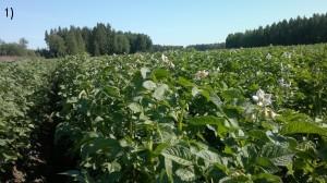Potatisen blommar, ser frisk och välmående ut