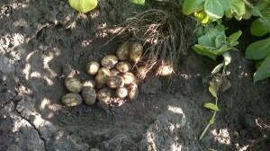 Knölbildningen avslutas, potatisen i tillväxtskede. Ca 20 st. Knölar per planta i storleken 10 – 35 mm
