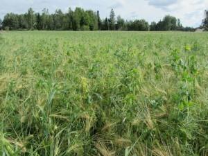 Foto 1: Ärt-havre-kornblandningen.