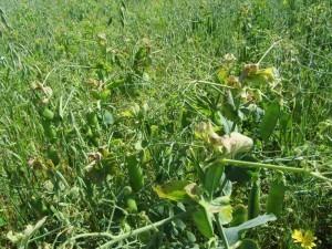 Foto 2: En del ärtplantor har fått bruna toppar. Orsaken kan vara brist på vatten eller näringsbrist.