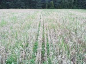 Foto 2: Jakobssons observationsskifte som vi följt med under sommaren har börjat gulna