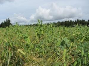 Foto 2: Ärt-kornblandningen.
