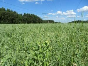 Foto 3: Spannmålen är i vippa och ax. Einar-kornet är 40-50 cm högt och Akseli-havren ca 65-70 cm högt. Allmänt lite fröogräs i bottnen. Vitklövret har hållit emot.