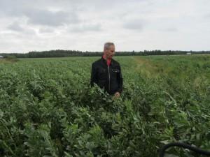 Foto 3: Steve Nyholms åkerböneskifte är kraftigt och spannmålen i botten har lite svårt att konkurrera med bönorna. Viktigt att ha spannmålen med. Den tar upp kvävet som bönan ger ifrån sig och underlättar betydligt både tröskningen och torkningen av hela skörden.