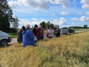 Foto 3: På bilden står vi vid kanten av Johan-Erik Påfs Jyvä-kornsskifte. Skiftet är gödslat med nötkompost och förfrukten var åkerböna.
