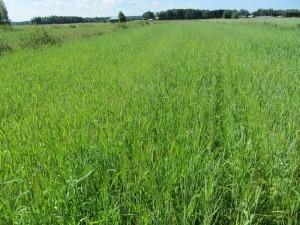 Foto 4: Beståndet är rätt kortväxt och kan ha lidit av torka i sommar. Jordarten på skiftet är grovmo och 5 i pH.