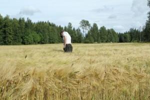 Foto 4: Kornet är kraftigt och det ser ut att komma en bra skörd. Också vallinsådden har tagit sig bra.