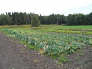 De ekologiska kålförsöken med blomkål och broccoli är delvis redan skördade
