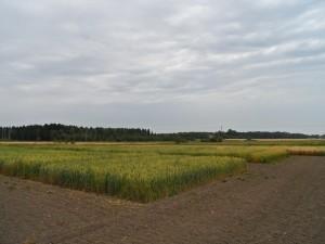 Ekovårvetena på Åland 7.8. Längre bort i bild syns också havreförsöken.