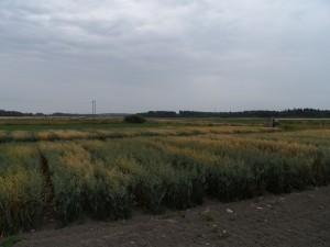 Ekologiska havresortförsök på Åland 7.8.