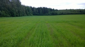 Kornet har också klarat sig bättre än vetet.