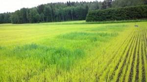 Närmast i bild nu ruta 1 med Viljo, 80kg kväve. Vi följer gödslingsförsöket med jordprover under sommaren.