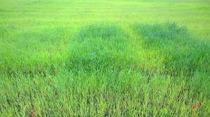 På bilden från vänster till höger ruta 2,3 och 4, med höns 40 kgN, höns 80 kgN respektive viljo 80 kgN. Viljon ser i detta skede ut att ha tagits upp av växten bättre än hönsgödseln.