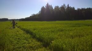 Varm morgon i Gammelby med mycket dagg i gräset. Torbjörn Lönnfors från NSL håller i trimmern.