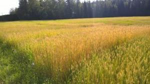 Andra upprepningen av vetet ser däremot fin ut!