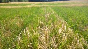 Kornet är nästan helt övervuxet av kvickrot vid det här laget, men den gamla sorten Halikon ohra med långt strå klara sig ännu rätt bra i konkurrensen i jämförelse med andra sorter.