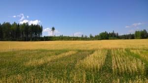 Första upprepningen av vete är nästan helt förbiväxt av klövern