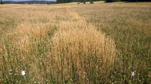 Ruta 7, har fått 40kgN med hönsgödseln