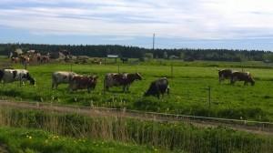 Grannens mjölkkor på sommarbete