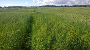 De veterutor som sprack dåligt under våren har problem med ogräskonkurrensen. Men utöver de rutorna ser försöket bra ut!