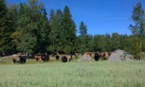 En del av Stefans långhåriga kor bor granne med ekoförsöksåkern.