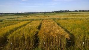 Kornet har börjat gulna, 27.8.