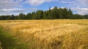 Likaså kornet, nu redan är alla sorter gula! 4.9.