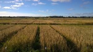 Kornrutorna, kort strå har de flesta sorter men trotts det inget större ogräsproblem i år!
