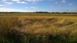 Liggsäd då sorterna är så långa! Från vänster till höger: Vårspelt Öland, Spelt, Fulltofta vete, Ölands vårvete.